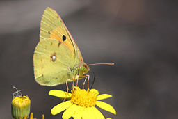 Clouded_yellow_(Colias_croceus) (4)