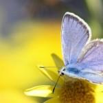 Polyommatus_Eros_common_meadow_blue_Lycaenidae (4)