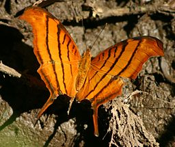 Tailed_flambeau_butterfly (1)